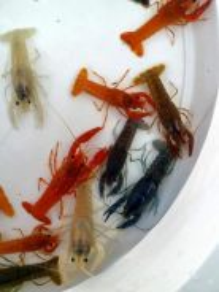 Udang clakii ( udang hias dalam aquariam)