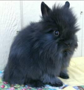 Rabbit Bunny (Lionhead mix Angora)