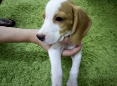 Pure Breed Lemon Spot Beagle Puppy (Male)