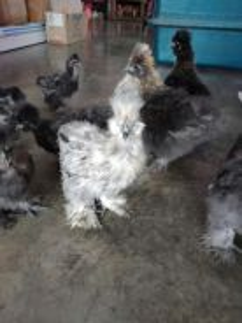 Ayam silkie sutera
