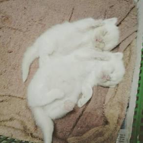 Kucing parsi mix gebu