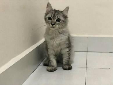 Kitten Norwegian Forrest Mix
