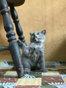 Kitten British short hair(BSH)