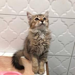 Kitten Mainecoon mix Himalayan