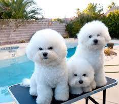 Newborn bichon puppies