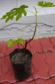 Fig seedling