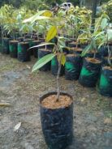 Anak pokok durian musang king Hybrid