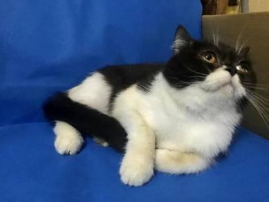 Kucing non munchkin hitam putih