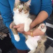 Mainecoon pure breed urgent