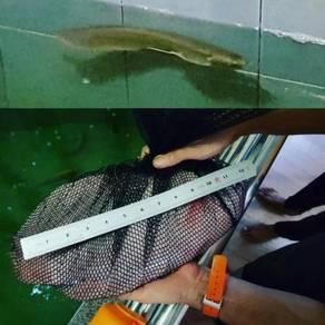 Ikan Kaloi Arowana