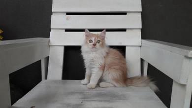 Non standard munchkin kitten