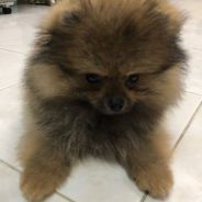 High Quality Bear Face Small Size Pomeranian
