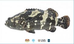Ikan kerapu/Dragon Tiger Grouper Fish
