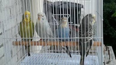 Burung budgie