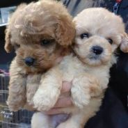Toy poodle17/6