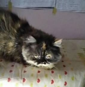 Persian cute cat