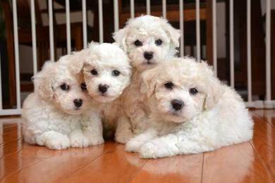 Adorable bichon pupies
