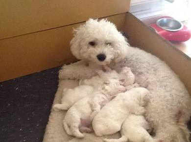 Puppies bichon open for booking