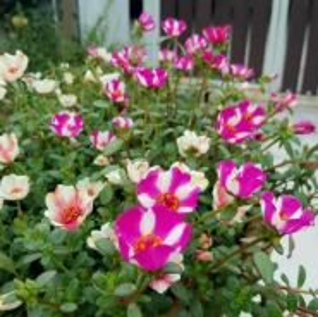 Ros Jepun / Japanese rose