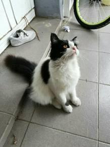 Kucing DLH Jantan 1 tahun