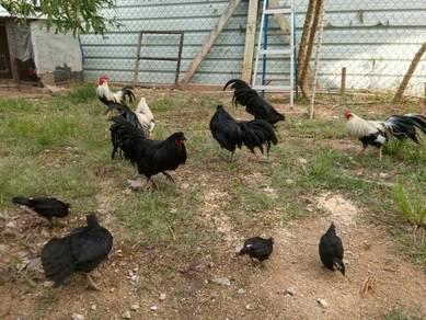 Bantam Black Sumatra dan Bantam Phoenix