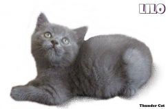 British shorthair kitten