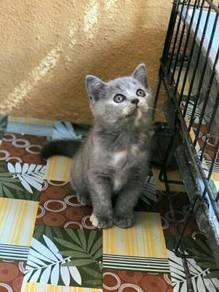 Kitten British short hair (BSH)