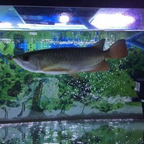 Ikan Arowana & Aquarium