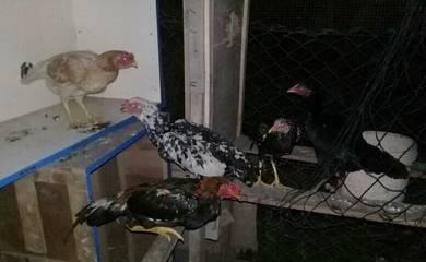 Ayam segak