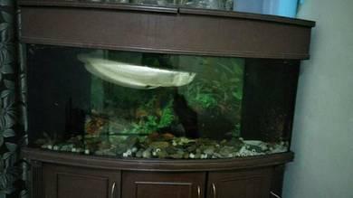 Ikan kelisa/arwana