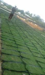 Rumput carpet philipin murah direct ladang