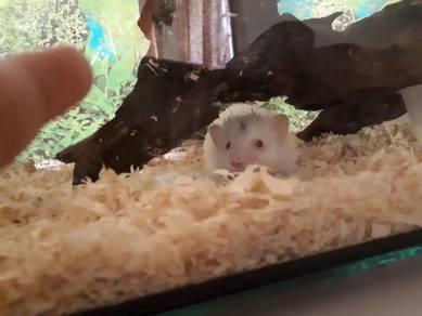Hedgehog albino aka landak mini female