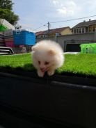 Pure Breed Cream White Pomeranian (Male)