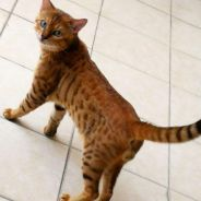 Bengal Male available