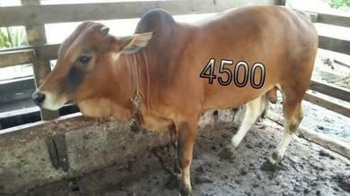 Lembu Jantan Korban