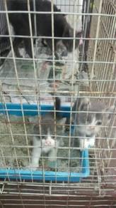 Kucing cat ibu 3 anak dan sangkar