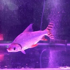 Fei Fong Fish