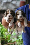 High Quality Beagle Puppy