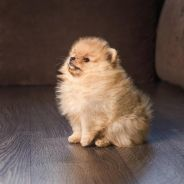 Sable MKA Pomeranian Puppies