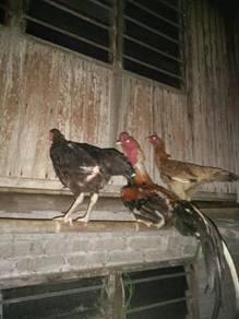 Ayam sabung