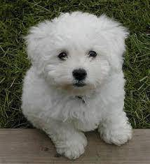 Certified parents> bichon frisepuppy
