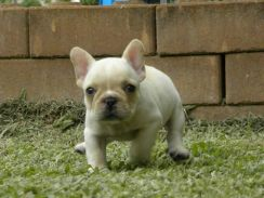 Pure French Bulldog Puppy