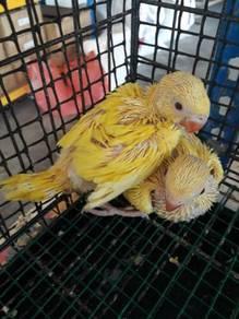 Burung ring neck lutino hand feed siap lesen