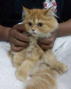 Kitten persian dlh