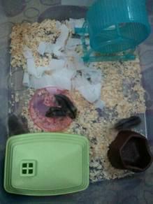 Hamster 4 ekor