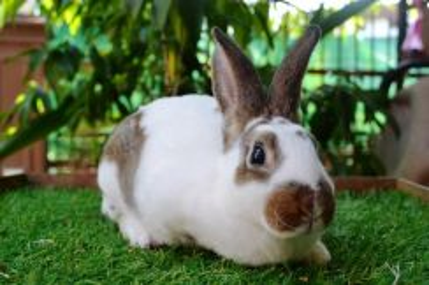 Arnab, Mini Rex Rabbit, bknJ