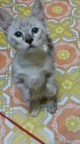 Kucing kaki pendek female