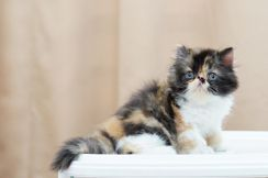 Kucing Parsi FEMALE Highnose Flat Face Calico