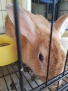 Furry Rabbit Gold Colour