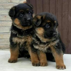 Long Coated German Shepherd puppies